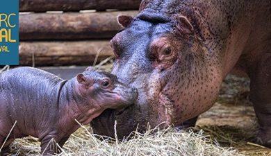 Premier bébé hippopotame du Zoo de Beauval